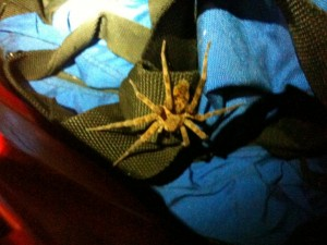 Found this big boy in our camping box - spider.
